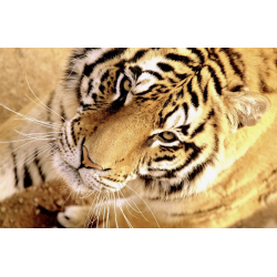 ANIMALS PHOTOS | WILD TIGER