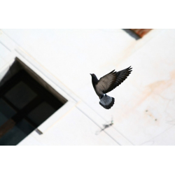 PIGEON IN FLIGHT | Animal pictures