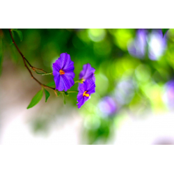FREE BUY IMAGES | PURPLES FLOWERS