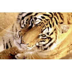 COMPRAR  FOTOS DE ANIMALES | TIGRE SALVAJE