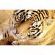 COMPRAR IMAGENES LIBRES | FOTOS DE ANIMALES | TIGRE