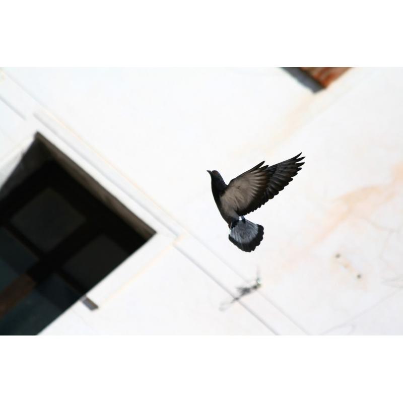 PALOMA EN VUELO | FOTOS DE ANIMALES